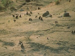 Simiengebergte - Geladabavianen