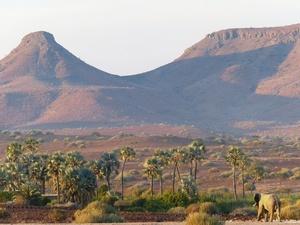 Palmwag - woestijnolifant