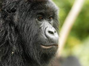 22 - Congo - berggorilla (6)