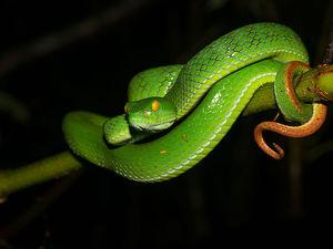 Sinharaja - grootoog adder