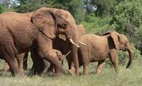 Olifant Mapungubwe Zuid-Afrika Djoser