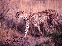 cheeta Namibie Selfdrive Djoser Family