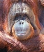 Orang Oetan Bohorok Gunung Leuser Sumatra Groepsreis