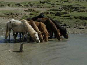 Paarden aan water