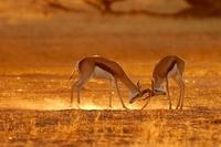 Zuid Afrika springbokkies Djoser