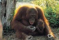 Orang-Oetans Sumatra Djoser