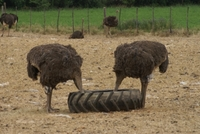 Zuid Afrika Oudtshoorn struisvogels Djoser