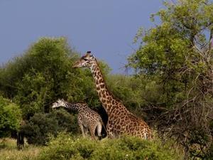 Shaba Nationaal Park – Giraffe