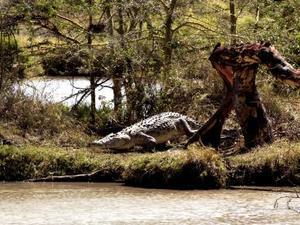 Lake Baringo - Krokodil
