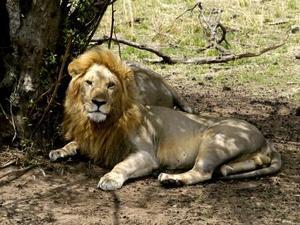 Serengeti - Leeuw