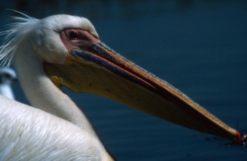 Abjatta & Shalla Nationaal park - pelikaan
