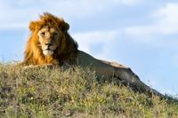 Zuid Afrika leeuw Djoser