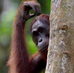 Maleisie Borneo orang-oetan Djoser