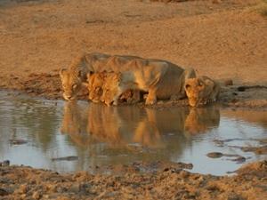 Drinkende leeuwinnen