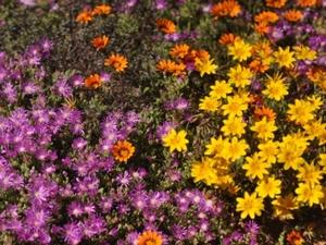 Namaqualand - wilde bloemen