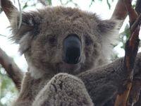 Koala Australie Djoser