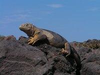 Galapagos Leguaan Djoser