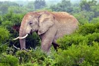 Olifant Kruger park Zuid-Afrika