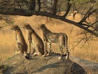 Chaetas Serengeti nationaal park Tanzania Djoser