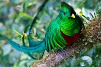 Quetzal Vogel Costa Rica djoser