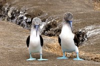 Vogels Isla de la Plata Ecuador