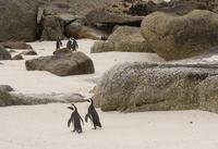 Zuid Afrika pinguins Boulders Beach Djoser