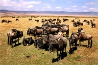 Ngorongoro krater Tanzania buffel Djoser