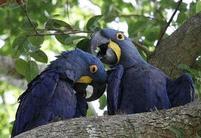 Papegaaien Pantanal Brazilie Djoser