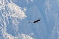 Condor Colca Canyon Peru Djoser