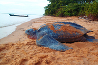 Schildpad Galibi Suriname Djoser