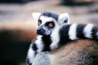 Madagaskar ringstaart maki Djoser
