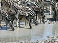 Namibie Etosha zebra's Djoser
