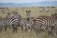 Tanzania Serengeti zebra's Djoser