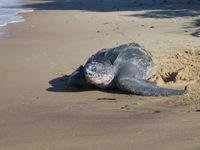 Schildpadden Galibi Suriname