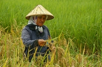 Rijstplukker Cameron Highlands Maleisie Djoser
