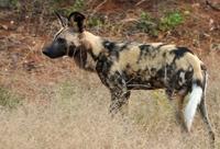 Wilde hond Kruger Zuid-Afrika Djoser