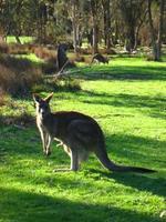 Australie Kangoeroe Djoser