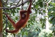 Djoser Maleisië Borneo Sarawak oerang oetans apen