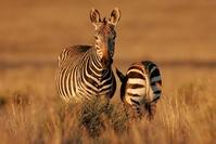 Zebra Tanzania Djoser