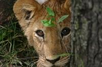 Leeuw welp Serengeti Tanzania Djoser