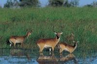 antilopen bij de rivier in zambia