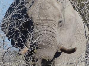 Etosha natiionaal park - foeragerende olifant