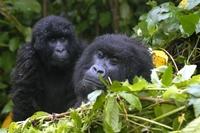 Gorilla Oeganda Djoser