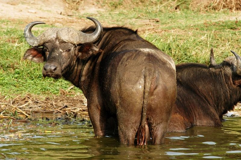 26 - Queen Elisabeth NP - buffel