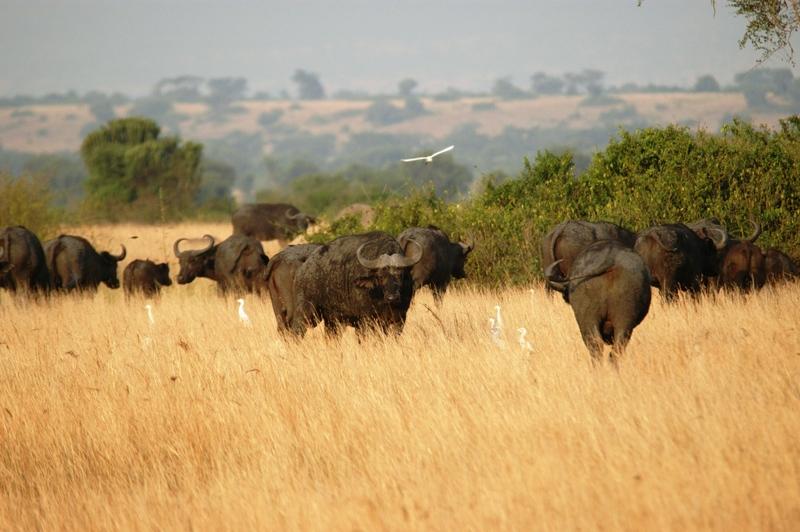 29 - Queen Elisabeth NP - buffels