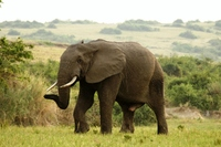 Queen Elisabeth NP - olifant Oeganda Djoser