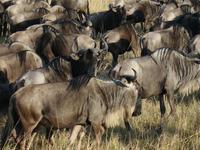 Buffels Serengeti Tanzania