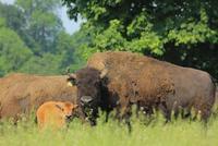 Bialowieza NP bizon wisent Polen