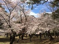 Kersenbloesem bomen park Nara Japan Djoser