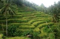 Rijstvelden Bali Inodonesië